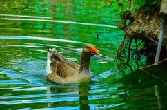 Pato en un lago imagenes de archivo