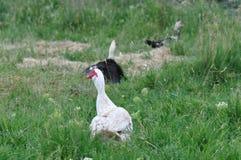 Pato en un prado imagen de archivo libre de regalías