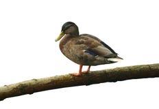 Pato en un registro Fotografía de archivo