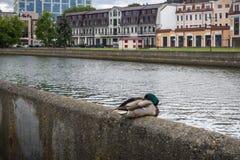 Pato en un riverbank en el centro de la ciudad de Minsk imágenes de archivo libres de regalías