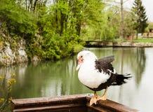 Pato en una cerca de madera Fotos de archivo