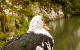 Pato en una cerca de madera Foto de archivo