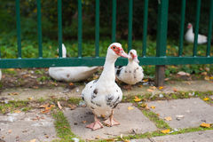 Pato en una granja que mira la cámara Fotos de archivo libres de regalías
