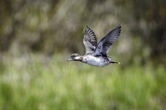 Pato en vuelo Imagen de archivo