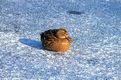 Pato engraçado que senta-se no gelo no inverno Imagem de Stock