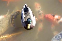 Pato entre pescados del koi Foto de archivo