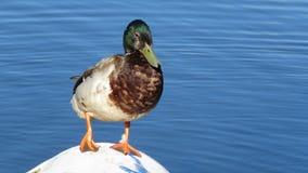 Pato ereto Foto de Stock