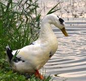 Pato espinoso en la costa imagen de archivo libre de regalías