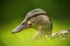 Pato europeo en una hierba Fotografía de archivo libre de regalías