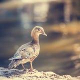 Pato fêmea Imagens de Stock
