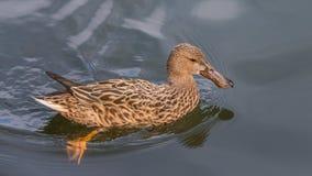 Pato fêmea do pato selvagem imagem de stock