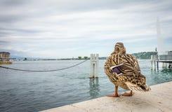 Pato fêmea do pato selvagem na terra Fotos de Stock Royalty Free