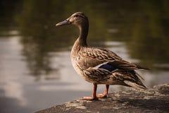 Pato fêmea do pato selvagem que está na borda da pedra Imagem de Stock