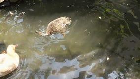 Pato fêmea do pato selvagem na lagoa que banha e que bate as asas video estoque