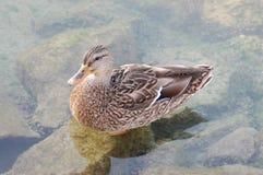 Pato fêmea II Fotografia de Stock Royalty Free