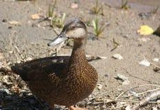 Pato fêmea no fim da praia acima dos pássaros da natureza Imagem de Stock