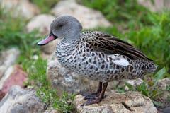 Pato fêmea seguro do pato selvagem com fundo verde fotos de stock