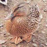 Pato fêmea tímido Imagens de Stock
