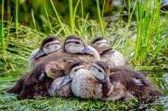 Pato familiy Foto de Stock