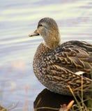 Pato femenino Foto de archivo libre de regalías