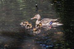 Pato femenino adulto joven gris y marrón y un grupo de sus anadones mullidos anaranjados y amarillos que nadan en la charca en foto de archivo libre de regalías