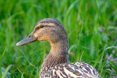 Pato femenino confiado del pato silvestre con el fondo verde FO selectivas Foto de archivo