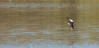 Pato femenino del pato cuchara Fotos de archivo