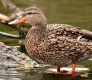 Pato femenino del pato silvestre Imágenes de archivo libres de regalías