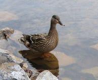Pato femenino del pato silvestre fotografía de archivo libre de regalías