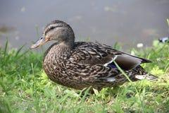 Pato femenino del pato silvestre Fotos de archivo libres de regalías