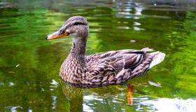 Pato femenino del pato silvestre en la charca imagen de archivo libre de regalías