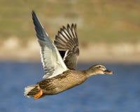 Pato femenino del pato silvestre en vuelo imagenes de archivo