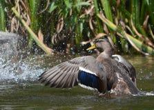 Pato femenino del pato silvestre que salpica con las gotitas de agua Imagen de archivo