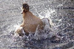 Pato femenino del pato silvestre que se baña en una charca imagenes de archivo