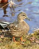 Pato femenino del pato silvestre que se coloca en hierba Imagenes de archivo