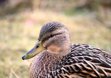 Pato femenino del pato silvestre que se coloca en hierba Foto de archivo libre de regalías