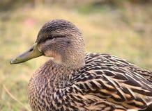 Pato femenino del pato silvestre que se coloca en hierba Imagen de archivo libre de regalías