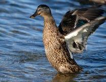 Pato femenino del pato silvestre Aleteo de las alas después de lavarse fotos de archivo