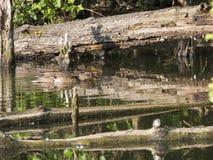 Pato femenino salvaje del pato silvestre con los anadones de los jóvenes Platyrhynchos de las anecdotarios Belleza en naturaleza  fotos de archivo