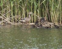 Pato femenino salvaje del pato silvestre con los anadones de los jóvenes Platyrhynchos de las anecdotarios que salen del agua que fotos de archivo