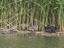 Pato femenino salvaje del pato silvestre con los anadones de los jóvenes Platyrhynchos de las anecdotarios que salen del agua que fotos de archivo libres de regalías