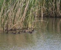 Pato femenino salvaje del pato silvestre con los anadones de los jóvenes Platyrhynchos de las anecdotarios que salen del agua que imagenes de archivo