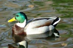 Pato flotante 1 Foto de archivo libre de regalías