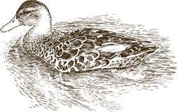 Pato flotante Fotos de archivo libres de regalías