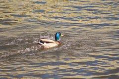 Pato flotante Imagen de archivo