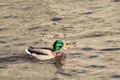 Pato flotante Fotografía de archivo