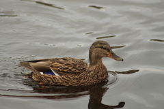 Pato flotante Imagenes de archivo