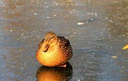Pato gordo que sittiing no gelo no lago congelado Fotografia de Stock Royalty Free