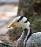 Pato gris Fotografía de archivo