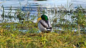 pato Gris-verde en el río Fotografía de archivo